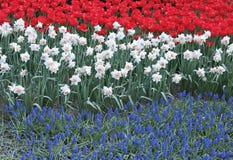 O canteiro de flores com três coloriu tulipas vermelhas das flores, narciso branco Fotos de Stock