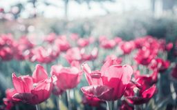 O canteiro de flores da mola ensolarada das tulipas vermelhas irradia, fundo, obscuro fotografia de stock