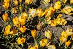 O canteiro de flores do açafrão amarelo Fotos de Stock Royalty Free
