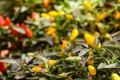O capsicum colorido ânuo, espécie gênero capsicum planta salpica de America do Norte e de Ámérica do Sul do norte Vitalidade deco imagens de stock