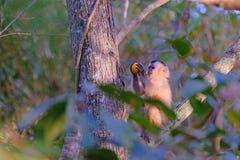 O Capuchin de Azaras ou Capuchin encapuçado, Cay de Sapajus, Simia Apella ou Cebus Apella, Mato Grosso, Pantanal, Brasil fotografia de stock