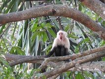 O Capuchin Monkee vê o ` s o ` s da banana que está sendo oferecido Imagens de Stock Royalty Free