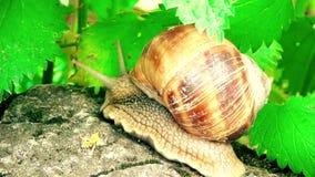 O caracol é mover-se lento em pedras video estoque