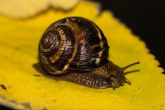 O caracol é uma criatura viva original que seja protegida por um shell e possa viver não somente no selvagem, mas também em casa fotografia de stock royalty free