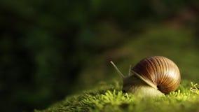 O caracol de jardim em um musgo verde gerencie lentamente sua cabeça vídeos de arquivo