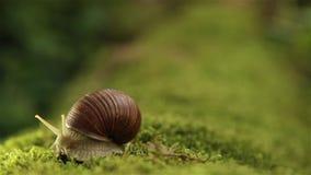 O caracol de jardim em um musgo verde gerencie lentamente sua cabeça HD 1920x1080 video estoque