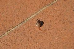 O caracol está deixando algum limo em telhas do cotto em meu jardim Foto de Stock Royalty Free