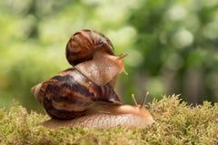 O caracol grande leva o caracol pequeno no musgo no fundo das folhas Fotos de Stock