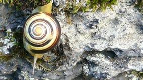 o caracol ou o jardim Branco-labiado uniram o hortensis de Cepaea do caracol video estoque