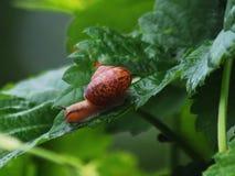 O caracol que rasteja em seus casos cobre delicioso e para quem e caracóis o mesmo alimento fotos de stock