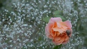 O caracol que rasteja em uma florescência aumentou video estoque