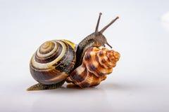 O caracol vivo e os mushes vazios sairam em uma tabela clara Caracol ? procura de uma casa nova fotos de stock