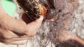 O caranguejo é liberado da rede vídeos de arquivo