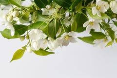 O caranguejo Apple bonito floresce em um mais baixo canto no fundo rústico das venezianas da placa branca com sala vazia vazia ou Fotos de Stock Royalty Free