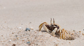 O caranguejo bonito Fotografia de Stock Royalty Free