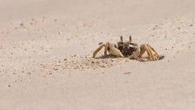 O caranguejo bonito Imagens de Stock