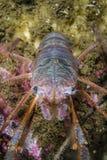 O caranguejo-diabo do canal Imagem de Stock Royalty Free
