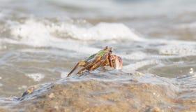 O caranguejo que escala acima a rocha Imagens de Stock Royalty Free