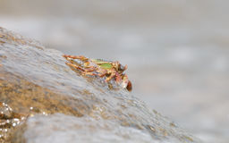 O caranguejo que escala acima a rocha Fotografia de Stock