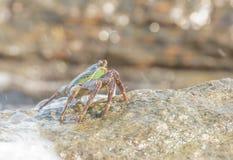 O caranguejo que escala acima a rocha Imagem de Stock