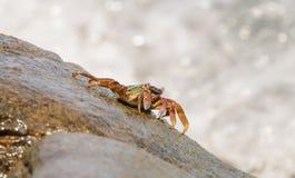 O caranguejo que escala acima a rocha Foto de Stock