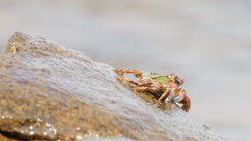 O caranguejo que escala acima a rocha Foto de Stock Royalty Free