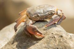 O caranguejo velho é o depositário da agua potável Imagem de Stock