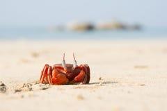 O caranguejo vermelho grande que senta-se na areia Foto de Stock