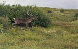 O caribu que anda na frente de esfrega fotografia de stock royalty free