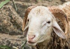 O carneiro é bonito peludo Fotografia de Stock