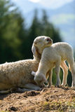 O carneiro ama pouco - Itália Foto de Stock Royalty Free