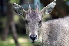 O carneiro azul animal é um mamífero fender-hoofed fotografia de stock