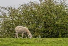 O carneiro come a grama Imagens de Stock Royalty Free