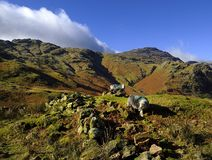 O carneiro de Herdwick no abate Fotografia de Stock