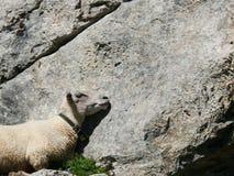 O carneiro dorme em uma rocha imagem de stock royalty free