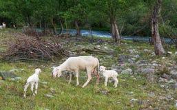 O carneiro e os cordeiros pastam no prado Imagens de Stock Royalty Free