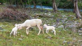 O carneiro e os cordeiros pastam no prado Fotografia de Stock