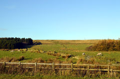 O carneiro em um campo no Pennine ocidental amarra Foto de Stock Royalty Free