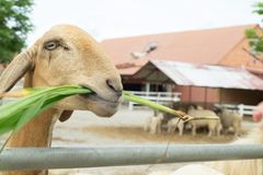 O carneiro está comendo a grama em uma exploração agrícola imagens de stock royalty free