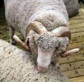 O carneiro merino soviético é um mamífero hoofed fotos de stock royalty free