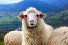 O carneiro olha fixamente na câmera que está na montanha Imagem de Stock
