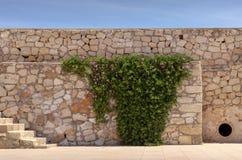 O Carpobrotus da planta edulis cresce na parede velha Imagem de Stock