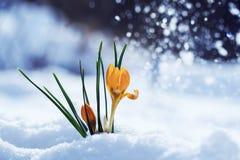 O cartão com amarelo brilhante festivo floresce o açafrão do snowdrop Imagens de Stock Royalty Free