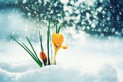 O cartão com amarelo brilhante festivo floresce o crocu do snowdrop Fotografia de Stock Royalty Free