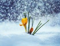 O cartão com snowdrop amarelo brilhante festivo floresce os açafrões GR Fotos de Stock Royalty Free