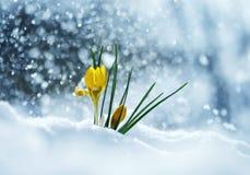O cartão com snowdrop brilhante festivo das flores do amarelo faz Fotografia de Stock