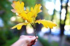 O carvalho amarelo sae em uma mão, estação do outono Imagens de Stock