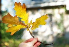 O carvalho amarelo sae em uma mão, estação do outono Fotos de Stock
