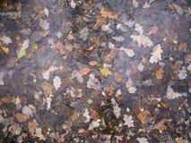 O carvalho caído floresta do outono sae sob a opinião superior do gelo Imagens de Stock Royalty Free