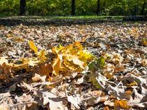 o carvalho caído sae no litro da folha iluminado pelo sol imagens de stock